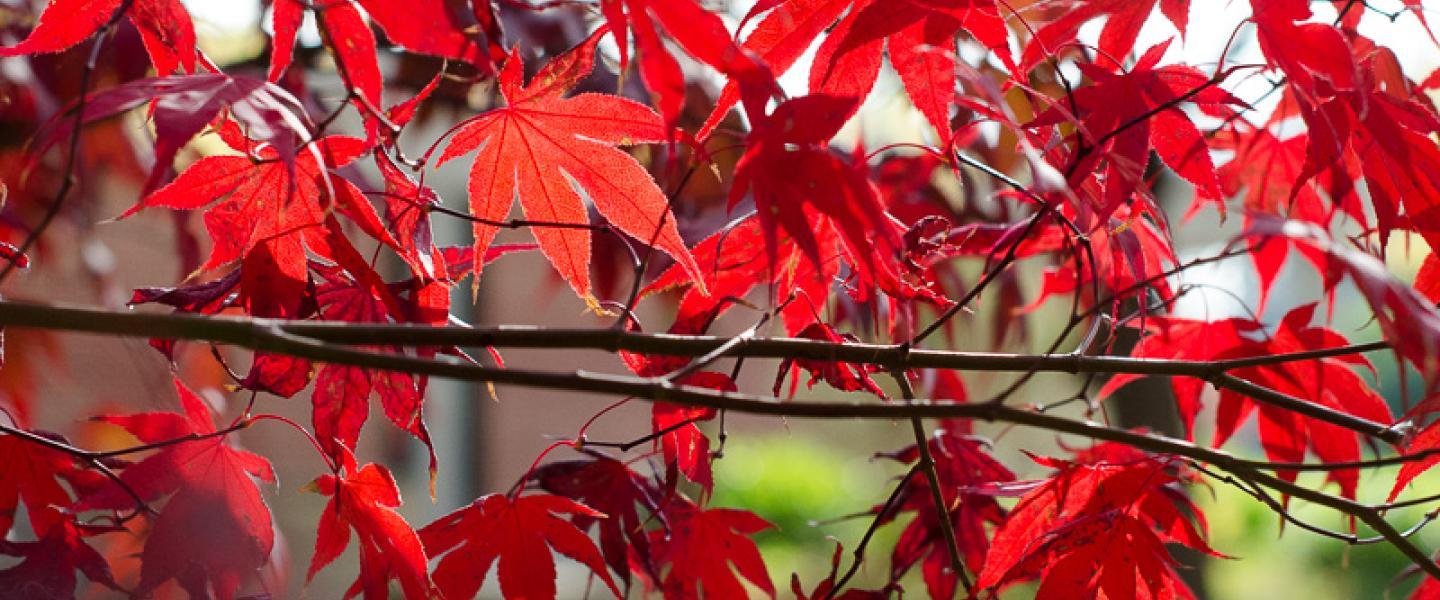red maple leaves on a tree